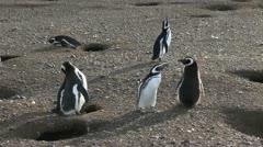 Patagonia Magdalena penguin body language 5 Stock Footage