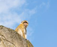 Berber monkey Stock Photos