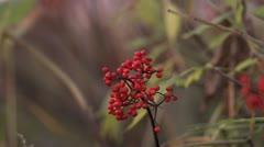 Elderberries Ripe and Red in Windy Autumnal Grassland Stock Footage
