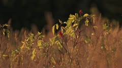 Elderberries in Waving Evening Autumn Grasses Stock Footage
