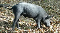 Wild pigs in forest_2 - stock footage