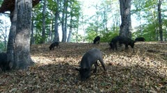 Wild pigs in forest_3 - stock footage