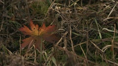 Wild Geranium Fall Colors Single Leaf Breezy Grass Stock Footage