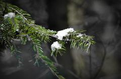 Snow covered conifer Stock Photos