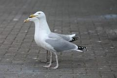 couple of sea gulls - stock photo