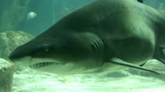 Shark in underwater wild life - stock footage