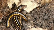 Millipede on a dirty soil Stock Footage
