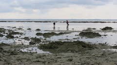 people gathering oyster during low tide - stock footage