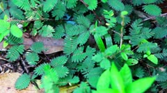shy plant: mimosa pudica. When you touch, it close leaves - stock footage