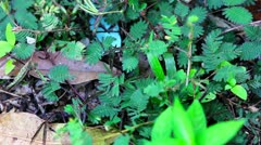 Shy plant: mimosa pudica. When you touch, it close leaves Stock Footage
