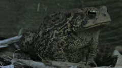 Toad looks at camera - stock footage