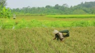 Agriculture workers on rice field in bali Stock Footage