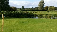 Pastoral scene with sheep - stock footage
