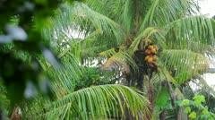 exotic coconut tree on rainy day - stock footage