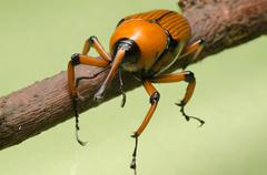 Stock Photo of palm weevil snout beetle
