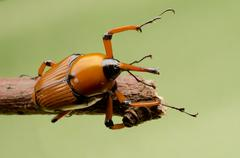Palm weevil snout beetle Stock Photos