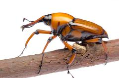 palm weevil snout beetle - stock photo
