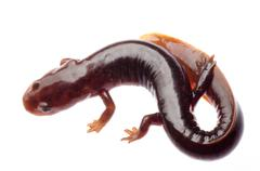 chinese tsitou salamander newt - stock photo
