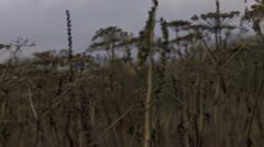 Evening Field of Dried Pushki Stalks Pan Stock Footage