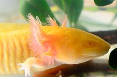 salamander newt head - stock photo