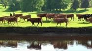 Cows walking past lake Stock Footage