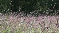 Tall Grass Meadow 2 - stock footage