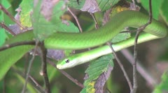 Rough Green Snake in Tree - stock footage