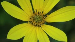 Yellow Wildflower Closeup Stock Footage
