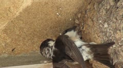 house martin chick being fed - stock footage