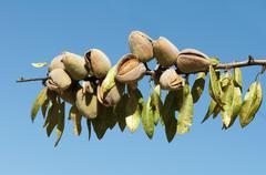 nearly ripe almonds - stock photo