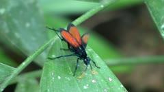Tarantula Hawk Wasp - stock footage