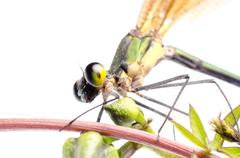 Hyönteinen damsefly sudenkorento eristetty Kuvituskuvat
