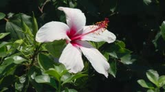 Background with rose Hibiscus flower, Crete Stock Footage