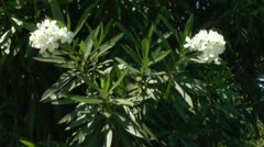 Background with white oleander flower, Crete Stock Footage