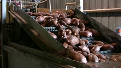 Sweet potatoes being processed Stock Footage