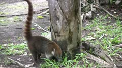 Coati mundi looking for food Stock Footage