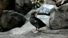 Tufted Puffin Stock Footage