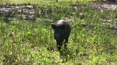 Black Pig trots towards camera. Stock Footage