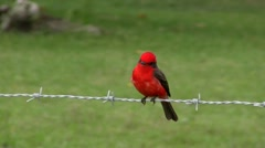 vermillion fly catcher on barbed wire - stock footage