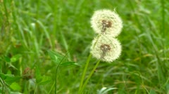 Dandelion white heads in field Stock Footage