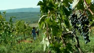 Harvesting grapes (Pinot noir ) Stock Footage