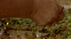 Manually partition of grapes on the conveyor line at a winery Stock Footage