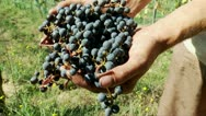 Stock Video Footage of Hands with a Pinot noir grapes