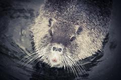 wild animal nutria rat close up - stock photo
