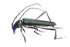 longicorn longhorn beetle - stock photo