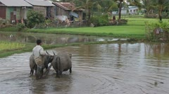 Peasant plow his paddy field Stock Footage