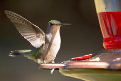 Hummingbird Resting on Feeder Stock Photos