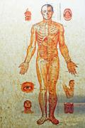 china, chinese medicine human body structure - stock photo
