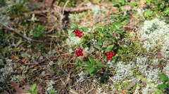 Handful of cowberry Stock Footage
