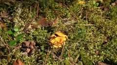 Yellow chanterelles Stock Footage